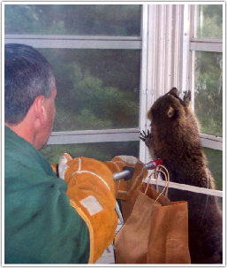Suburban Wildlife Control, LLC - Owner Bob Noviello dealing with raccoon